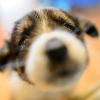 070915  Adron Gardner/Independent<br /> <br /> A foster puppy strikes a pose at the home of Kris Gruda in Gallup Thursday.