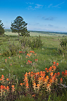 Orange Paintbrush  (Castilleja integra) and a variety of wildflowers thrive  on the Colorado plains after heavy spring rains.  Whispering Pines Park, Colorado.