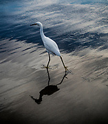 Snowy Egret at Seacliff State Beach, Aptos, California