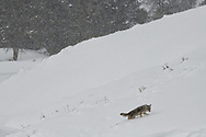 A coyote climbs a hillside during a snowstorm