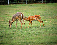 Doe with mange with fawn. Image taken with a Fuji X-T3 camera and 200 mm f/2 OIS lens (ISO 320, 200 mm, f/2.8, 1/750 sec).