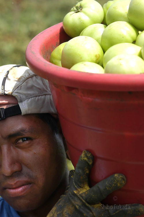 A migrant farm worker works in tomato field in Immokalee, FL, Apr. 17, 2003. Workers are paid 40 to 45 cents per 30 pound bucket, which is the same rate they were paid in 1980s. In order to make $50 a day, they pick and haul 125 buckets or two tons of tomatoes. To make that quota, pickers work fast, picking, filling, hauling, and throwing buckets.
