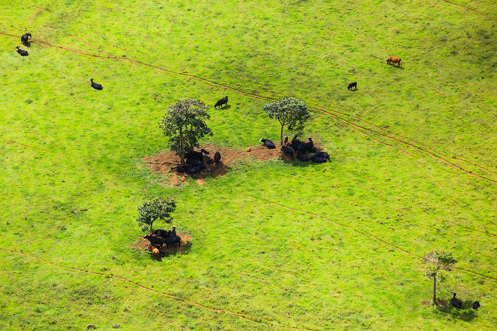 Aerial view of cattle taking shelter in the shade of sparse trees in a pasture on Kauai, Hawaii.