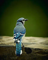 Blue Jay. Image taken with a Nikon D4 camera and 600 mm f/4 VR lens (ISO 250, 600 mm, f/4, 1/400 sec).