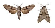 69.007 (1978)<br /> Pine Hawk-moth - Hyloicus pinastri