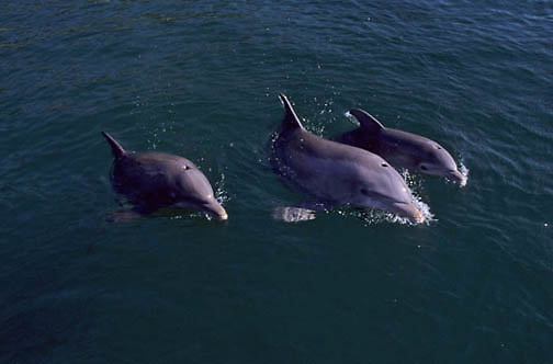 Bottlenose Dolphin, (Tursiops truncatus) In waters of Gulf of Mexico. Honduras.  Controlled Conditons.