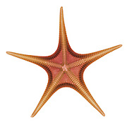X-ray of a starfish.