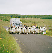 Flock of sheep being herded in Connemara, Ireland