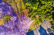 Aerial view of 2 bicyclists riding under a magnificently flowering Jacaranda tree, Fairfield, Brisbane, Queensland, Australia