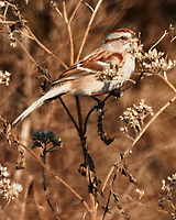 American Tree Sparrow (Spizelloides arborea). Image taken with a Nikon N1V3 camera and 70-300 mm VR lens.