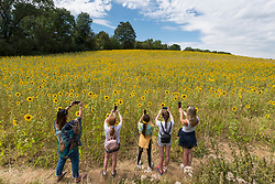© Licensed to London News Pictures. 05/08/2020. CHORLEYWOOD, UK.  Visitors take photos of sunflowers on a warm, sunny day which are currently in full bloom, growing in a wheat field, near Chorleywood in Hertfordshire.  The forecast is for much temperatures exceeding 30C by the end of the week..  Photo credit: Stephen Chung/LNP