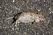 NederlandDode dieren . Rat .Foto: Flip Franssen