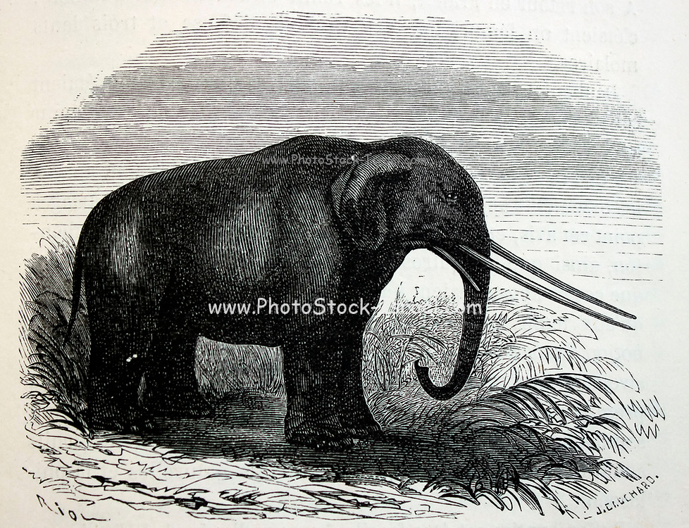 Illustration of a mastodon (Mastodon giganteus, now known as Mammut americanum), a pachyderm that lived in North America from the late Miocene to the Pleistocene, from Louis Figuier's The World Before the Deluge, 1867 American edition.