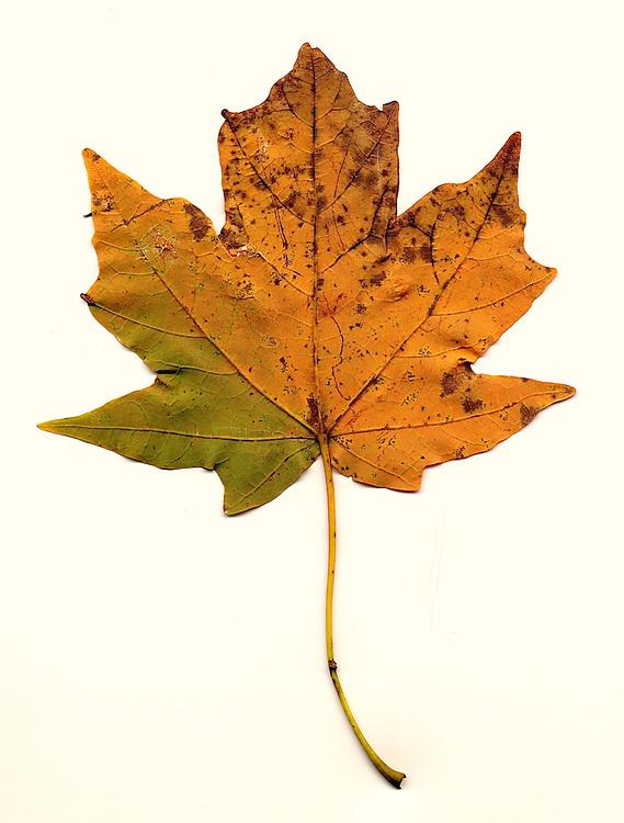 Fall leaf southeastern Ohio, red maple, underside of leaf