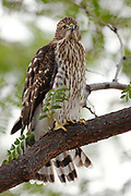 Stock photo of Cooper's Hawk captured in Colorado.  These birds will catch other birds with their feet and squeeze it repeatedly to kill it.