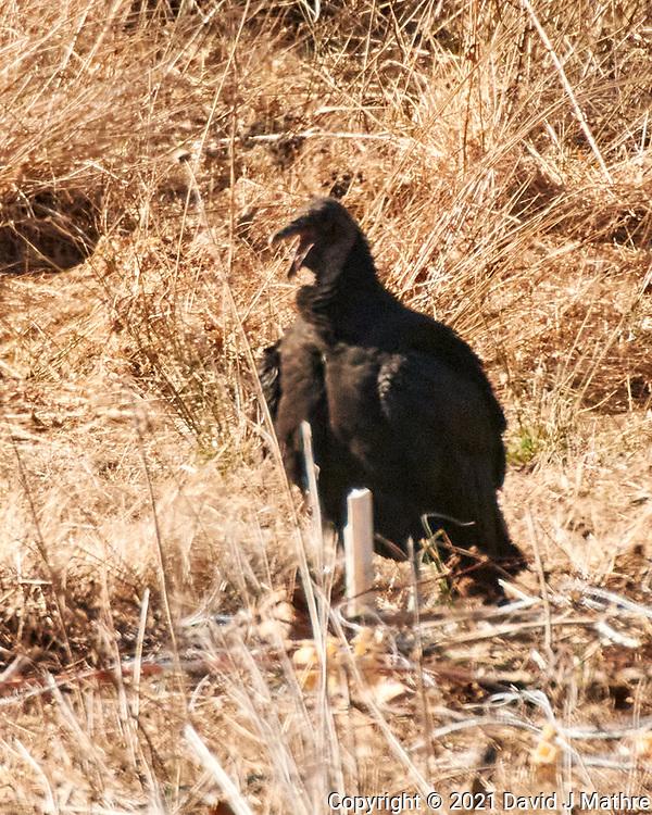 Black Vulture. Image taken with a Nikon 1 V3 camera and 70-300 mm VR lens.