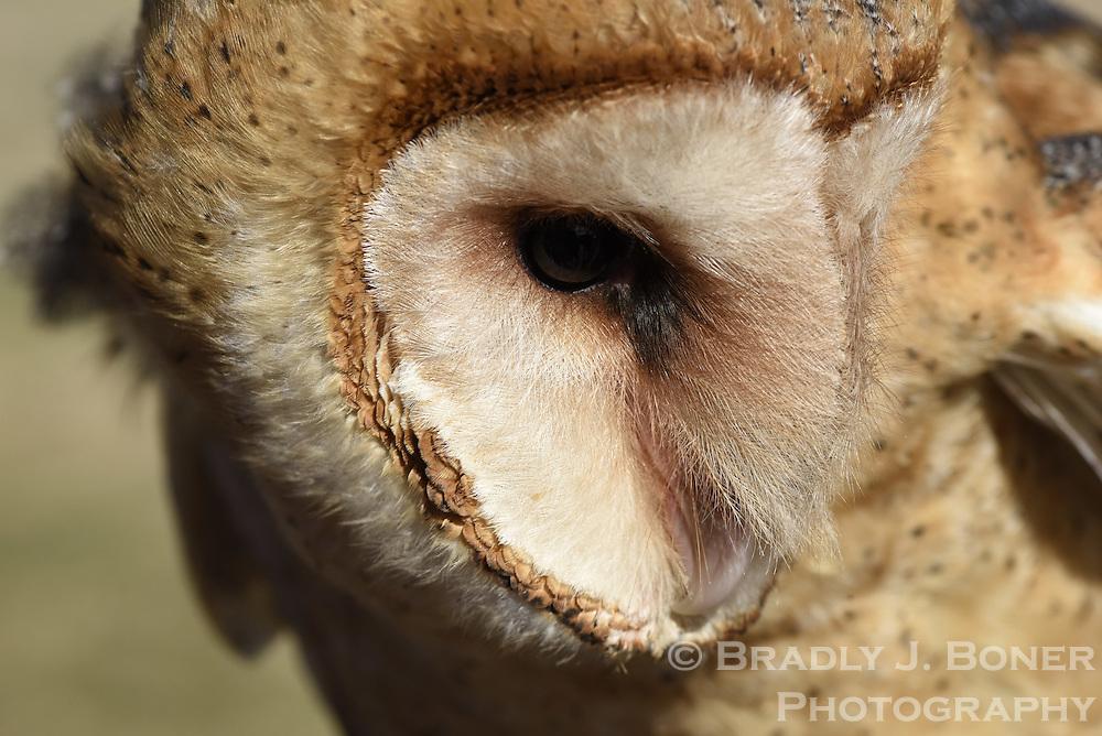 New barn owl educational bird at the Teton Raptor Center