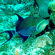 Queen Triggerfish inhabit coral reefs, adjacent areas of rubble and seagrass in Tropical West Atlantic; picture taken Little Cayman.
