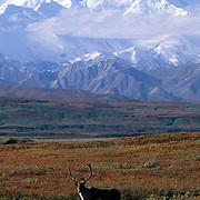 Barren Ground Caribou, (Rangifer arcticus) Bull in autumn hued tundra below Mount. McKinley. Fall.  Alaska.