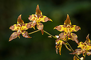 Orchid (Odontoglossum sp.)<br /> Cayambe Coca Ecological Reserve<br /> Andes<br /> ECUADOR, South America