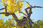 bald eagle captured in Colorado.  The bald eagle is an oppurtunistic feeder.  90 percent of it's diet is fish,  birds and small mammals.  They will also take fish from osprey as well.