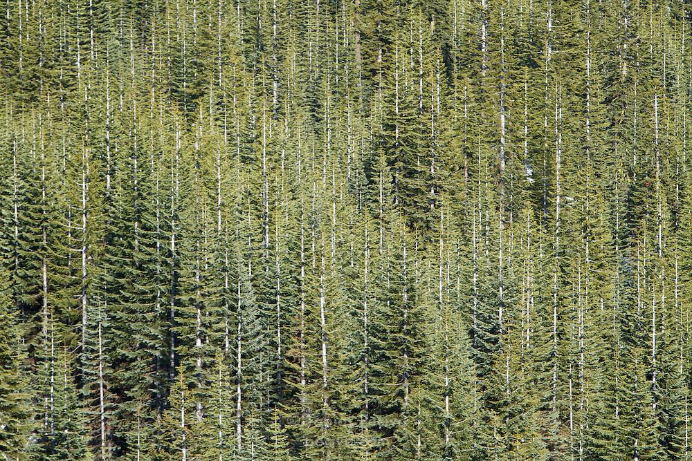 Dense forest on the slopes of Mount Shasta, California.