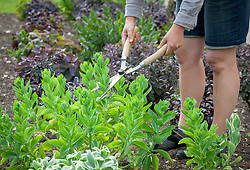 Giving sedums the 'Chelsea chop' by cutting them back by a third in May to stop them flopping over in the autumn