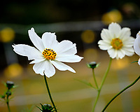Cosmos Flower. Image taken with a Fuji X-H1 camera and 80 mm f/2.8 macro lens and 1.4x teleconverter.