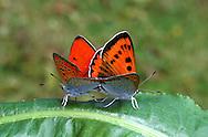 Large Copper - Lycaena dispar batavus