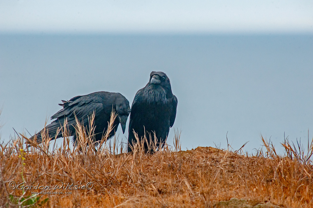 A pair of ravens (Corvus corax) seem to enjoy the other's company while perching on a cliff above the Pacific Ocean near Moss  Beach, California.
