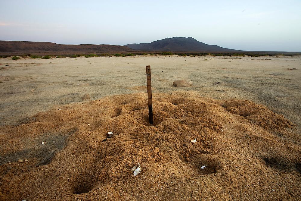 15/Septiembre/2014 Cabo Verde. Boa Vista.<br /> Detalle de un nido de tortuga Carettha carettha que ha sido atacado por los cangrejos fantasma en la playa de Joao Barrosa.<br /> <br /> © JOAN COSTA