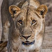 Mfuwe Lions