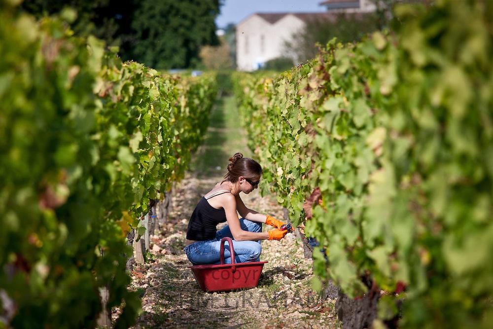 Wine harvest, vendange, Cabernet Franc grapes by hand at Chateau Lafleur at Pomerol in the Bordeaux region of France