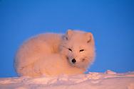 Arctic Fox, Alopex lagopus, Ellesmere Island, Nunavut, Canada, Arctic