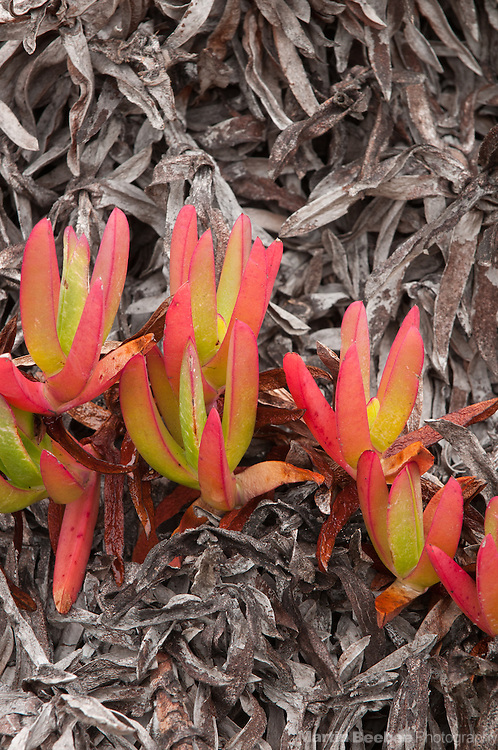 Leaves of hottentot-fig (Carpobrotus edulis) turning color, Pescadero Marsh Natural Preserve, California