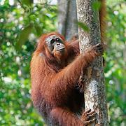 Orang-utan (Pongo pygmaeus) climbing tree. Tanjung Puting National Park. Borneo