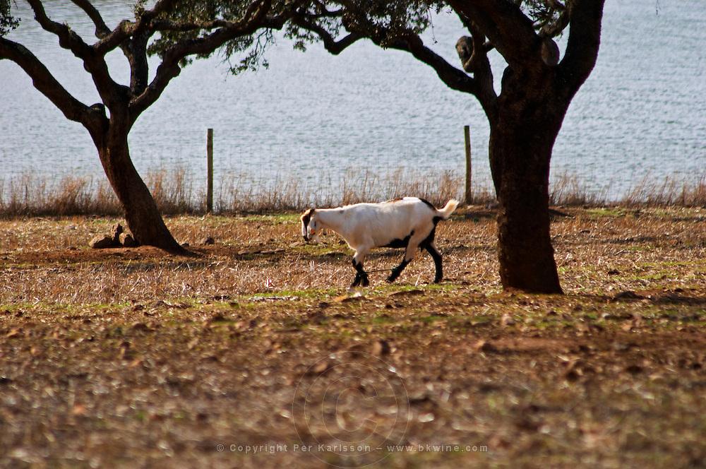 Dry, barren fields with oak trees. Goat grazing. Herdade da Malhadinha Nova, Alentejo, Portugal