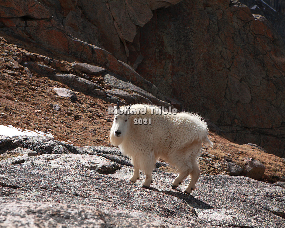Mountain goat staring at the camera
