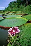 Victoria Water Lily flower & pads - Amazonia, Peru.