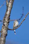Tufted Titmouse sits perched in the sunlight for a wide portrait featuring  vertical and horizontal branches.