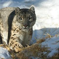 Animals - Snow Leopard