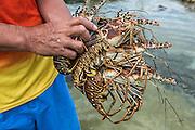 Spear & lobster fisher catch<br /> Caye Caulker<br /> Ambergris Caye<br /> Belize<br /> Central America