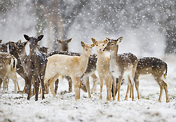 © Licensed to London News Pictures. 24/01/2021. London, UK. Young deer experience the snowy conditions in Bushy Park, south west London. A band of snow is crossing the south east this morning as temperature remain just above freezing. Photo credit: Peter Macdiarmid/LNP