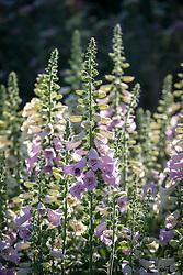 Digitalis purpurea 'Camelot Series' - Foxglove - with bee