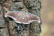 Tasar silkworm moth (Antheraea mylitta) from Bandhavgarh National Park, Madhya Pradesh, India.