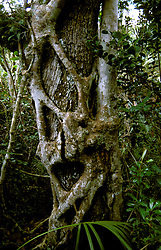 FL: Florida Everglades National Park,.Tree at Mahogany Hammock.Photo Copyright: Lee Foster, lee@fostertravel.com, www.fostertravel.com, (510) 549-2202.Image: flever209