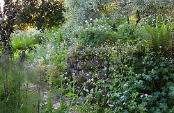 Evening light in the brick garden at Glebe Cottage with geraniums, fennel and Erigeron karvinskianus - Mexican daisy