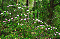 Pacific Rhododendron (Rhododendron macrophyllum) flowers