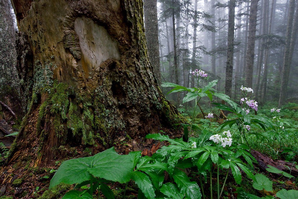Dentaria de siete hojas en el bosque de Aubàs, Bossost, Valle de Aran