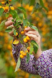 Harvesting crab apples from Malus × zumi 'Golden Hornet' in autumn.